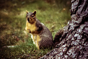 Fox Squirrel Framed Prints - Cute Squirrel Framed Print by Robert Bales