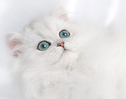 Cuddly Prints - Cute White Persian Kitten Print by David and Carol Kelly