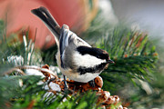Bird Species Prints - Cute Winter Chickadee Print by Christina Rollo