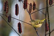 Ruby-crowned Kinglet Birds Photos - Cuteness by Gary Holmes