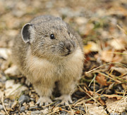 Amy Gerber - Cutest Pika Ever