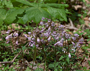 Spring Flowers - Cutleaf Toothwort DSPF007 by Gerry Gantt