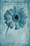 John Edwards - Cyanotype Gerbera...