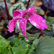 Lynn Bolt - Cyclamen after the Rain