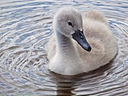 Lilroseann Photography Prints - Cygnet Beauty Print by LilRoseann Photography
