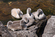 All - Cygnets Resting by Sarah  Lalonde