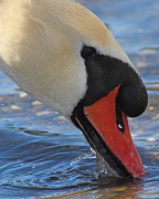 Mute Swan Prints - Cygnus Olor Print by Randy Hall