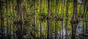 Bird Rookery Swamp Prints - Cypress Print by Bill Martin