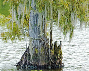 Cypress Knee Art - Cypress Knees Chicot SP LA by Lizi Beard-Ward