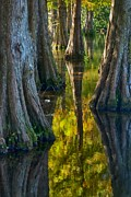 Rob Wilson - Cypress Reflections