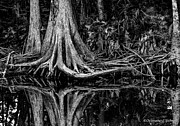Christopher Holmes Photo Prints - Cypress Roots - BW Print by Christopher Holmes