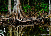 Tree Roots Prints - Cypress Roots Print by Christopher Holmes
