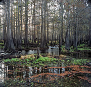 Chris Kusik Framed Prints - Cypress Swamp I. Jane Green Creek. Framed Print by Chris  Kusik