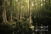 Cypress Swamp Print by Ron Sanford