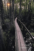 Cypress Swamp Trail Print by Ron Sanford