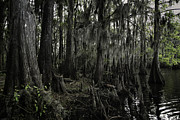 Reptiles Art - Cypress Trees by John Hesley