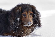 Snow Dog Posters - Dachshund in the winter Poster by Michal Boubin