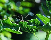 Harvestmen Photos - Daddy Longlegs Crawling over Hollyhock leaves by Nida Chioco