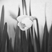 Jessie Gould - Daffodil - in Black and...