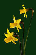 Daffodil Arrangment Print by Pete Hemington