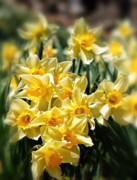 Spring Florals Framed Prints - Daffodil Framed Print by Bill  Wakeley