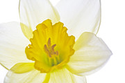 Daffodils Photographs Framed Prints - Daffodil Bright Framed Print by Natalie Kinnear
