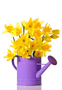 Watering Can Posters - Daffodil Display Poster by Christopher and Amanda Elwell