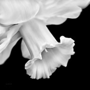 Monotone Prints - Daffodil Flower Macro Black and White Print by Jennie Marie Schell