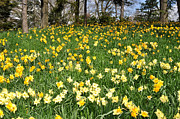 Diane Lent - Daffodil Hill with...