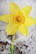 Snow Spring Prints - Daffodil in Spring Snow Print by Adam Romanowicz