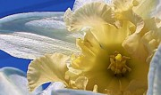 Amature Photography Framed Prints - Daffodil in the Sun Framed Print by Bruce Bley