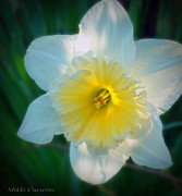 Mikki Cucuzzo Framed Prints - Daffodil in the sun Framed Print by Mikki Cucuzzo