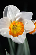 Joy Watson Photography Framed Prints - Daffodil in White Framed Print by Joy Watson