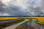 Storm Photo Originals - Daffodil Lane by Mike  Dawson