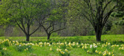 Daffodil Meadow Print by Ann Horn