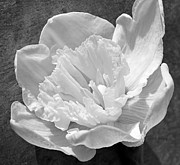 Yearly Prints - Daffodil Monochrome  Print by Chris Berry
