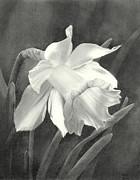 Daffodil Print by Nicola Butt