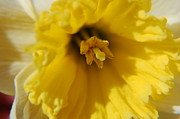 Close Ups - Daffodil  by Randy J Heath