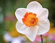 Daffodil  Print by Rona Black