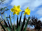 Daffodils Originals - Daffodils 2 by John Chatterley