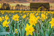 Farm Fields Framed Prints - Daffodils and Barn Framed Print by Puget  Exposure