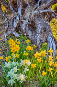 Methow Valley Prints - Daffodils and Sculpture Print by Omaste Witkowski