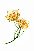 Andrea Carroll - Daffodils