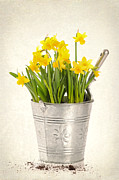 Potting Posters - Daffodils Poster by Christopher and Amanda Elwell