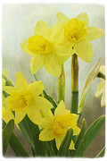 Flowering Bulbs Prints - Daffodils Print by Cindi Ressler