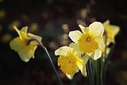 HJBH Photography - Daffodils