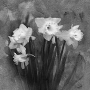Daffodils Posters - Daffodils in Black and White Poster by Betty LaRue