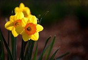 Andrea Silies - Daffodils in Bloom