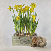 Flowering Bulbs Prints - Daffodils Print by Jacky Parker