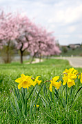 Palatia Photo - Daffodils with blooming...